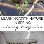 Collecting and raising frog spawn to froglets in your own home. Simple low cost Nature activity for kids to do in Spring at home or in the classroom