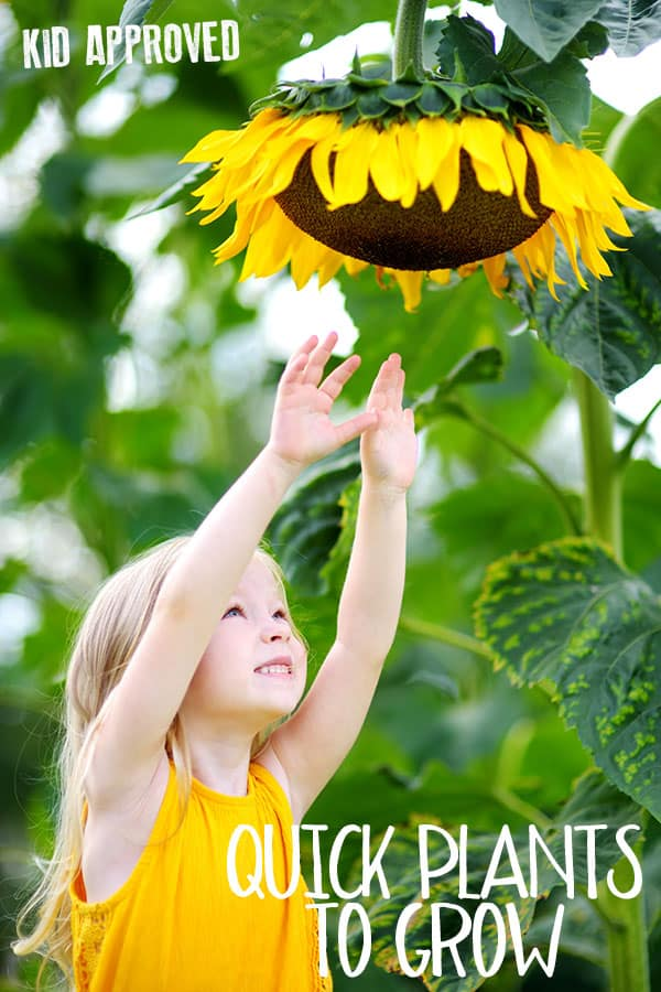 little girl reaching for a sunflower head with text reading kid approved quick plants to grow