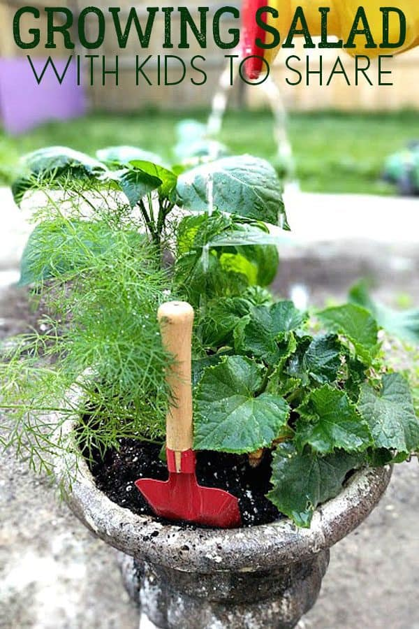 growing a garden salad in a container