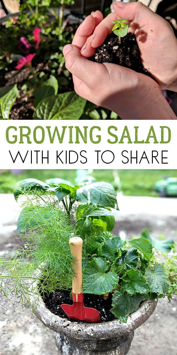 How to grow salads with kids ideal for getting them to share, try new food and experience the growing cycle of plants