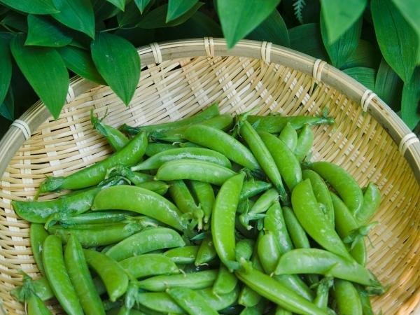 a basket of freshly picked peas in may ready to cook with and make sides and salads