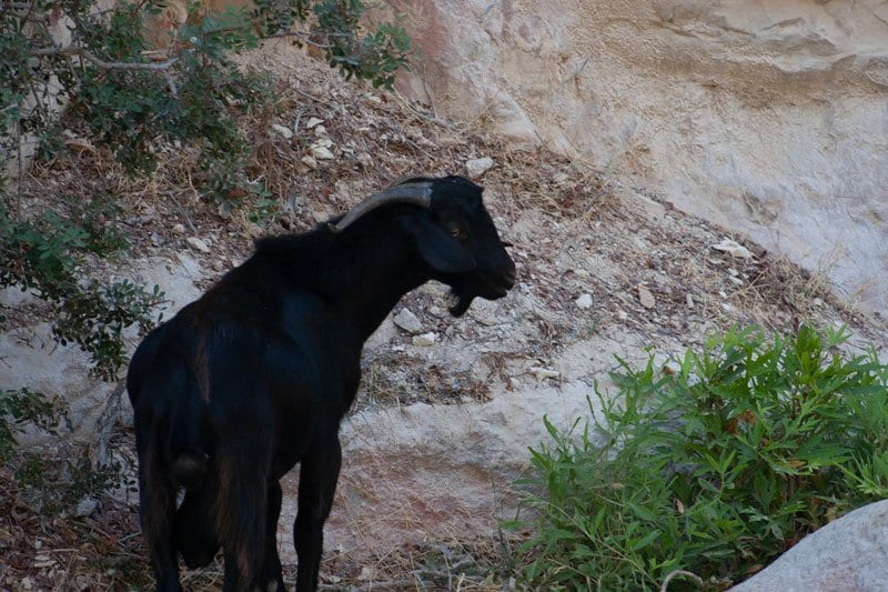 Goat on the Avakas Nature Trail