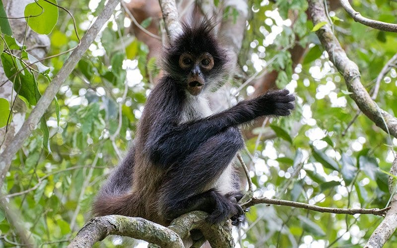 Punta Laguna Spider Monkey Nature Reserve in Quintana Roo