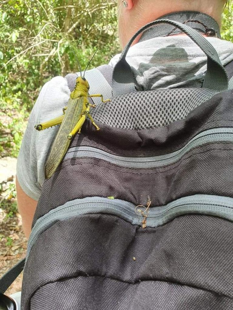giant grasshopper on bag