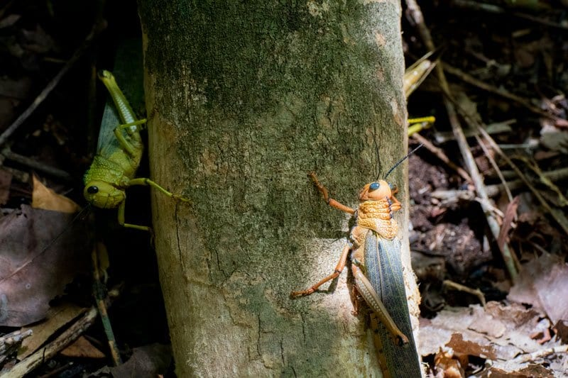 giant grasshoppers in Mexico