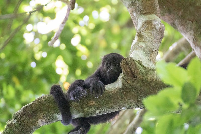 Young Howler Monkey in the tree having a laze in Mexico